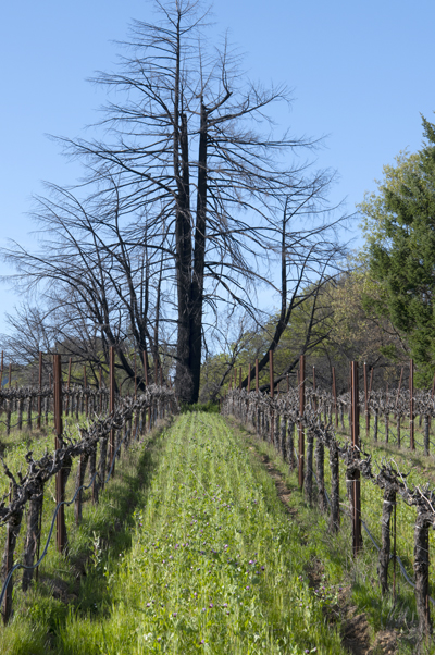Cover crop seeds are planted every fall between the dormant grape vines-Frey Vineyards