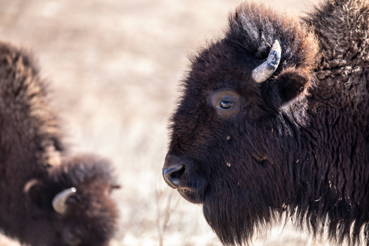 Regeneration the Land and Native Communities with Bison-photo by Erika Larsen