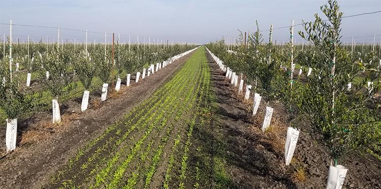 Olive tree farm, very drought tolerant at Burns Farm-courtesy of Farmland LP