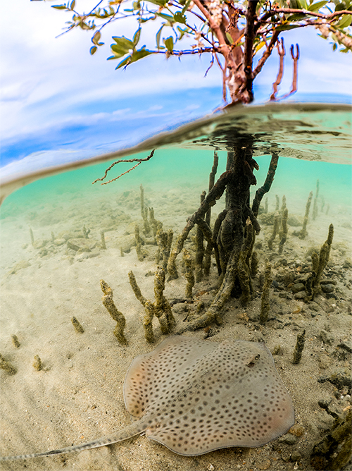 Mangrove and spotted ray - photo by Morgan Bennett-Smith