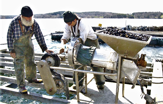 Seeding mussel rope with biodegradable cotton - Pemaquid Mussel Farms