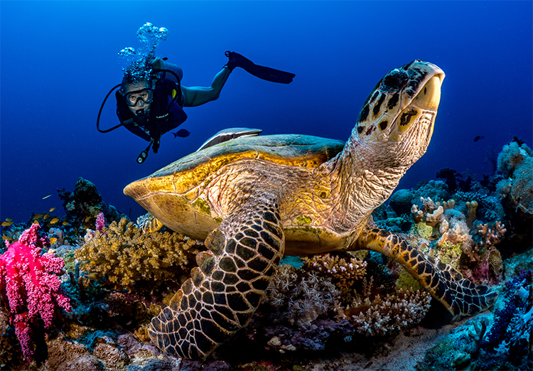 Turtle and diver - photo by Morgan Bennett-Smith